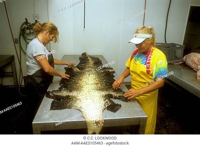 Grading American Alligator Hides, Atchafalaya Basin, Louisiana