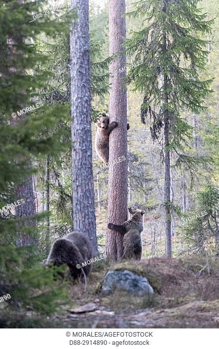 Europe, Finland, Kuhmo area, Kajaani, Brown bear (Ursus arctos horribilis), adult female and baby in a tree