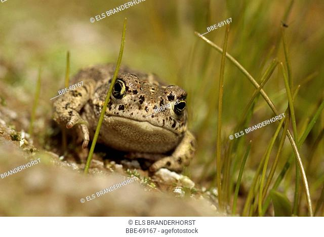 Natterjack toad between spike-rush