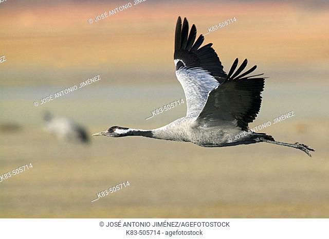 Crane flying. Laguna de Gallocanta area, Zaragoza province. Aragón, Spain