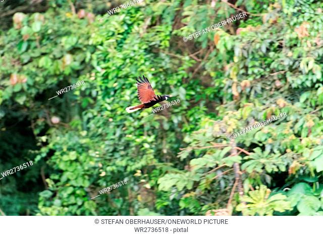 Costa Rica, Alajuela, San Carlos, In flight, Montezumastirnvogel (Gymnostinops montezuma), a mid-American songbird from the family of the youngest