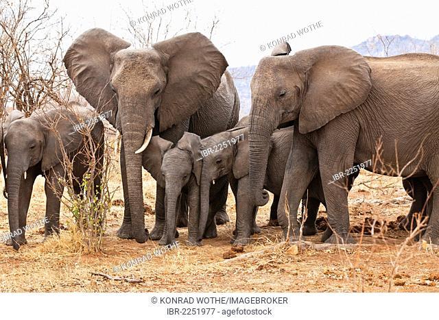African Elephants (Loxodonta africana), Ruaha National Park, Tanzania, East Africa, Africa