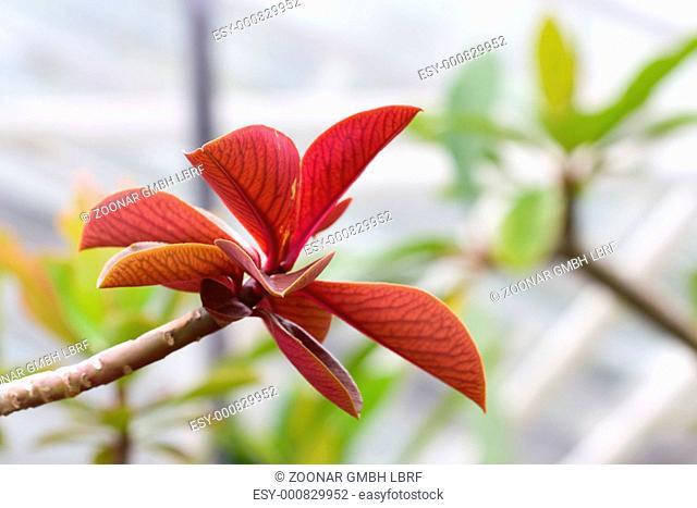 Euphorbia grantii - Synadenium grantii