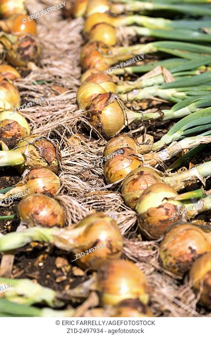 Fresh garden grown onions England UK