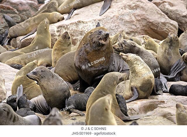 Cape Fur Seal, Arctocephalus pusillus, Cape Cross, Namibia, adults in colony