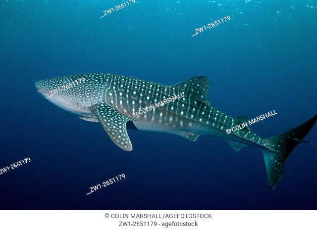 Whale Shark (Rhincodon typus) with Remoras, Cenderawasih (Bird of Paradise) Bay, West Papua, Indonesia