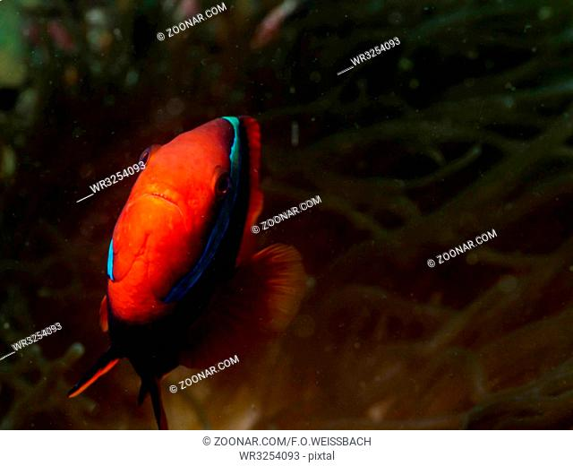 Roter Anemonenfisch (Amphiprion frenatus)