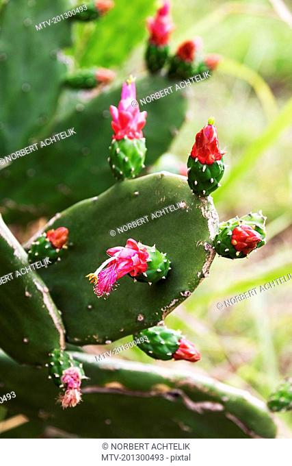 Close-up of red prickly pear cactus flower, Caripe, Monagas, Venezuela