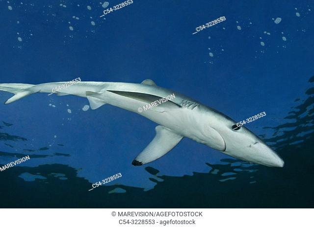 Blue shark (Prionace glauca). Eastervn Atlantic. Galicia. Spain. Europe