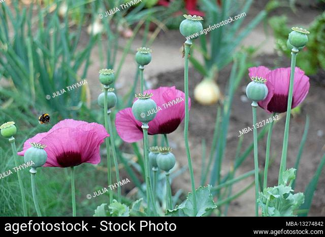Opium poppy (Papaver somniferum) with flowers and seed pods in the vegetable garden
