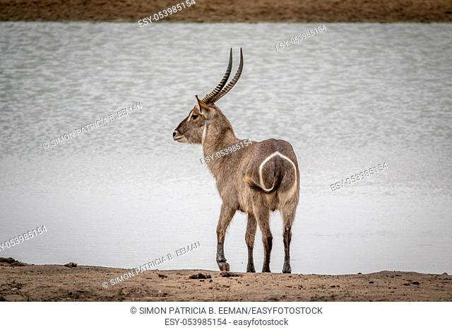 Big male Waterbuck standing by the water in the Kruger National Park, South Africa