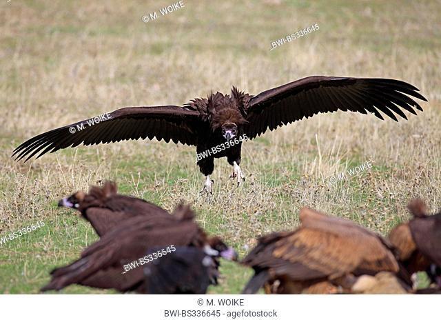 cinereous vulture (Aegypius monachus), landing, Spain, Extremadura