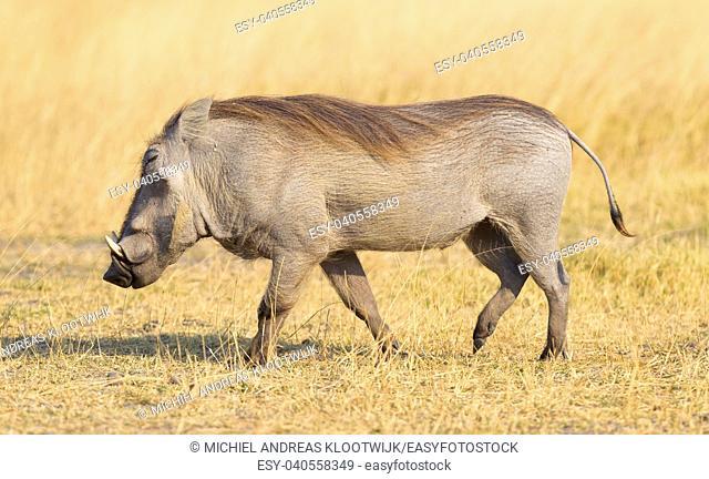 Warthog (Phacochoerus africanus) walking in the evening sun. Namibia