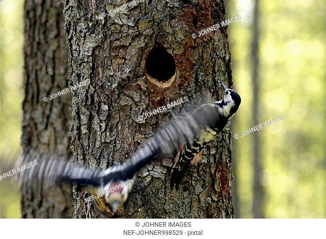 Woodpecker on a tree, Poland