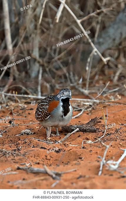 Madagascan Buttonquail (Turnix nigricollis) adult female in Spiny forest, Madagascan Endemic Parc Mosa, Ifaty, Madagascar        November