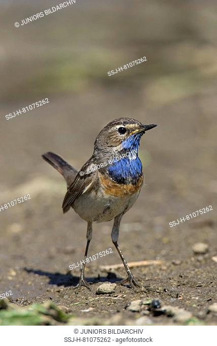 White-spotted Bluethroat (Luscinia svecica). Adult male standing on the ground. Germany