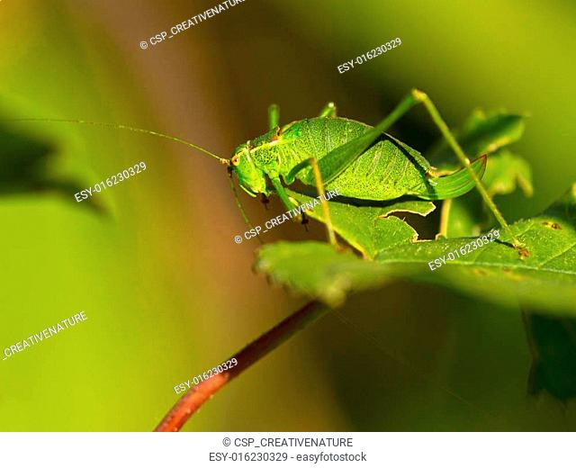 Female of a speckled bush-cricket (Leptophyes punctatissima) on a leaf in the sun