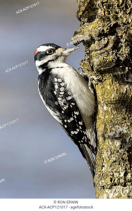 Male Hairy Woodpecker (Picoides villosus), Lynde Shores Conservation Area, Whitby, Ontario, Canada