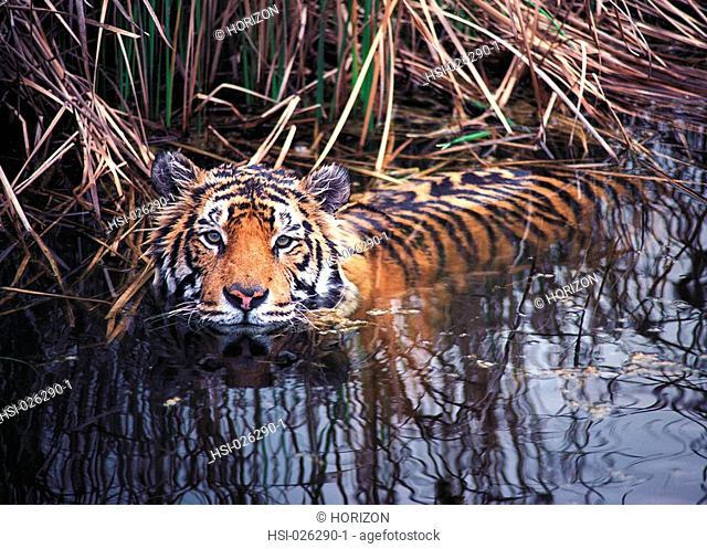 Wildlife, Carnivora, Bengal Tiger