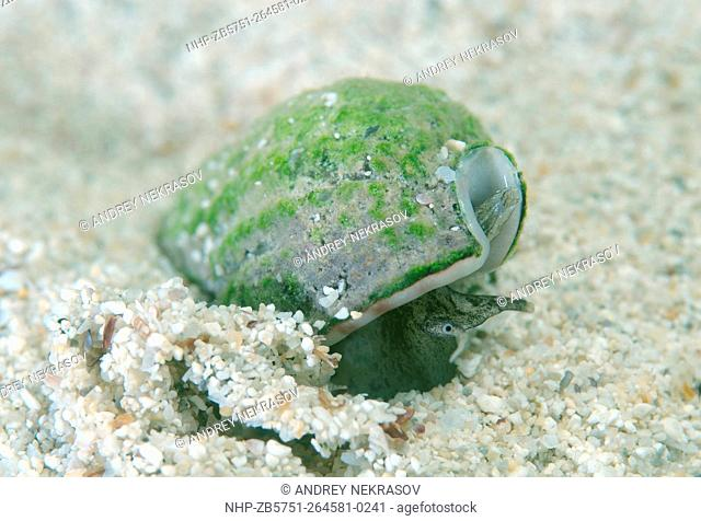 mollusc Nassa (Tritia reticulata), Black Sea, Crimea, Russia