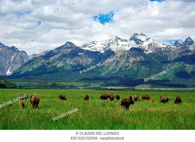 Buffalos with Grand Teton view, Wyoming