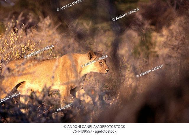 African lion (Panthera leo). Etosha National Park. Namibia