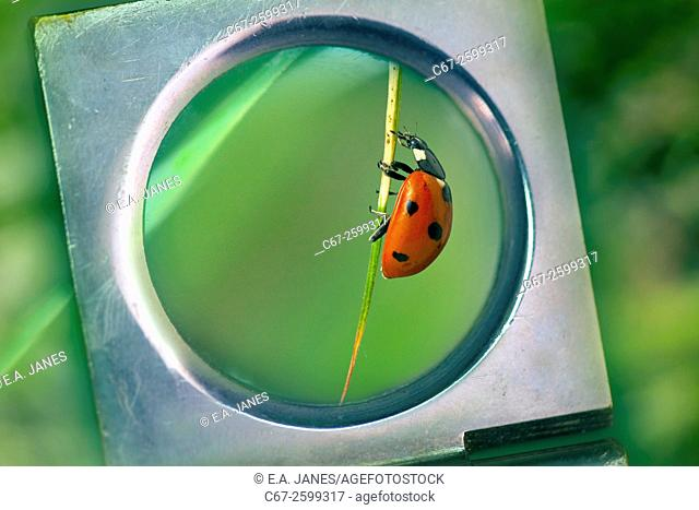 Seven-spot Ladybird Coccinella -punctata magnifyed with glass lens
