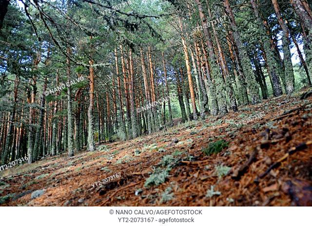 Forest in Peñalara, highest mountain peak in the mountain range of Guadarrama, Spain