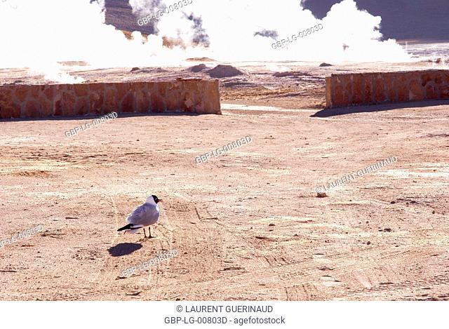 Geysers El Tatio, Atacama Desert, Region of Antofagasta, Santiago, Chile