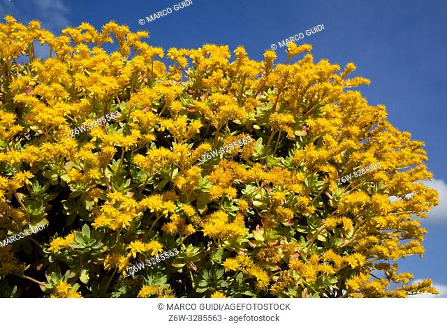 Composition in full spring bloom of Sedum Palmeri yellow