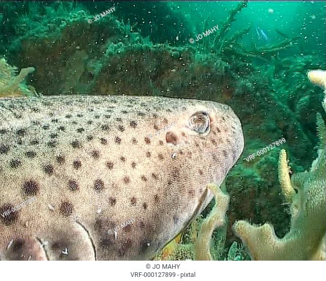 large Dogfish facing into frame resting on reef, gills breathing MS. South coast of United Kingdom