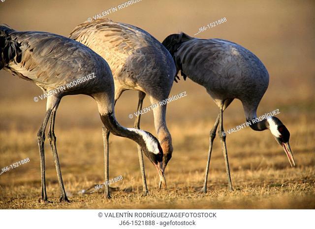Common Crane (Grus grus) in the wildlife reserve of Gallocanta, Aragon, Spain