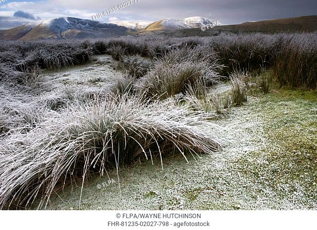 Frost covered rushes and moorland habitat, Cautley Crag and Howgill Fells in background, Cumbria, England, winter