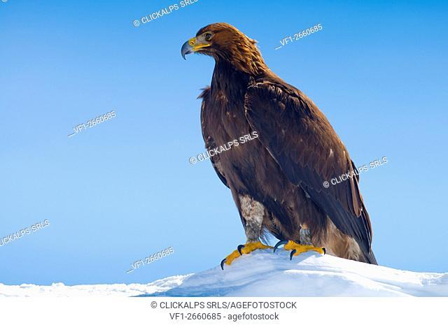 Golden Eagle (Aquila Reale),Dolomites,Auronzo,Veneto,Alps,Italy