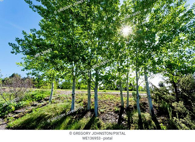 Sunlight shines through the quaking aspen trees at the arboretum in Moscow, Idaho