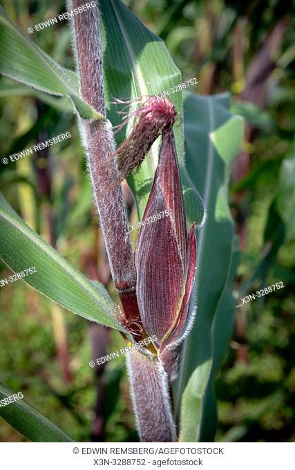 Corn on small farms near Volcanos National Park , Rwanda