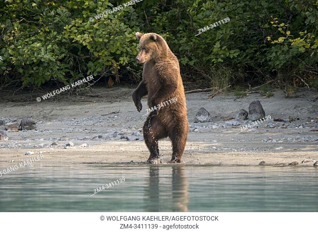 A Brown bear (Ursus arctos) is standing up looking for salmon along the shore of Lake Crescent in Lake Clark National Park and Preserve, Alaska, USA