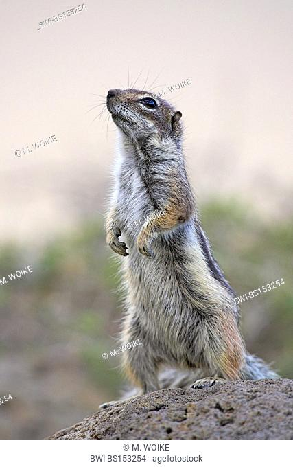 barbary ground squirrel, North African ground squirrel (Atlantoxerus getulus), standing on its hind legs, Canary Islands, Fuerteventura