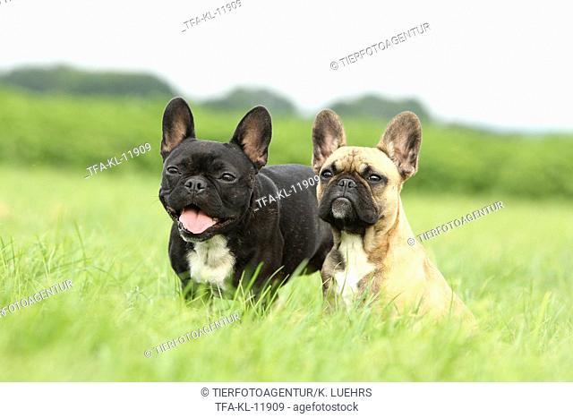 2 French Bulldogs