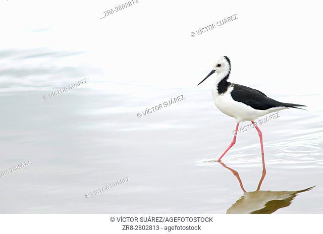 Pied stilt (Himantopus himantopus leucocephalus). Hoopers Inlet. Otago Peninsula. Otago. South Island. New Zealand