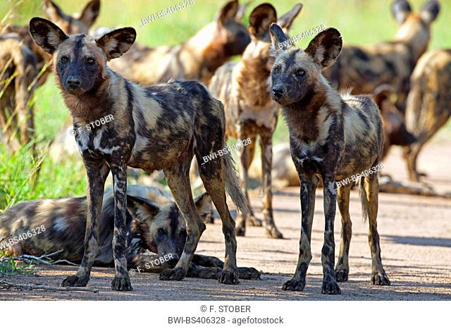 African wild dog, African hunting dog, Cape hunting dog, Painted dog, Painted wolf, Painted hunting dog, Spotted dog, Ornate wolf (Lycaon pictus), pack