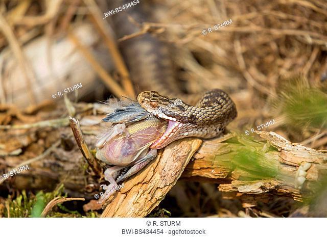 adder, common viper, common European viper, common viper (Vipera berus), female capturing a young bird, Germany, Bavaria, Bavarian Forest National Park