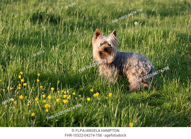 Domestic Dog, Yorkshire Terrier, adult, standing in meadow, West Sussex, England, May