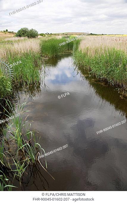 Drainage ditch in reedbed habitat, Rainham Marshes Nature Reserve, Essex, England, june