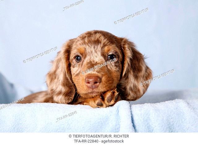 Tigerteckel puppy