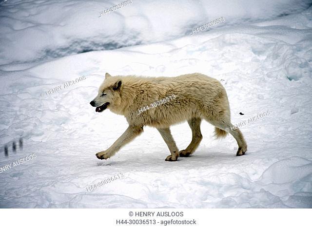Arctic Wolf (Canis lupus arctos) in the snow Arctic wolf in the snow, Canis lupus arctos
