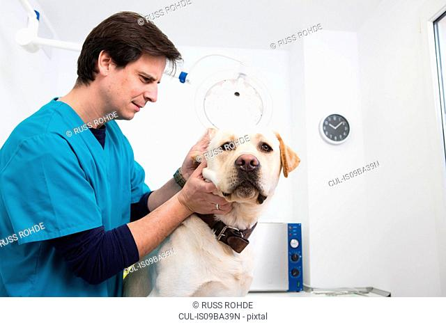 Vet giving labrador retriever ear checkup