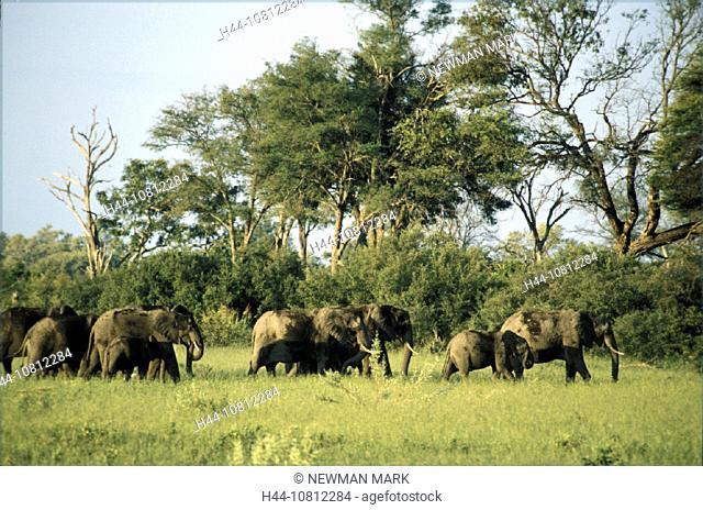 Africa, n elephant, animal, animals, Botswana, elephant, herd, Linyanti Swamp