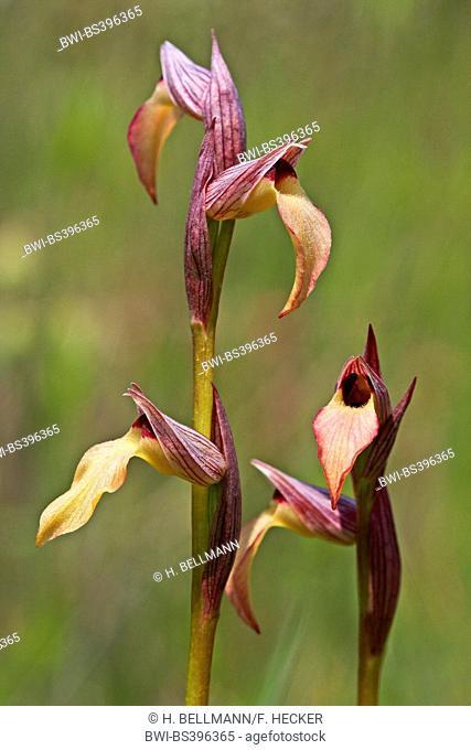 Tongue orchid (Serapias lingua), two inflorescences