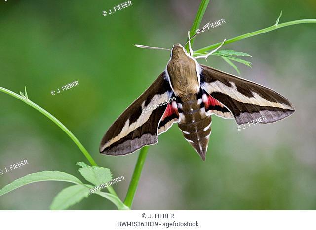 spurge hawkmoth (Hyles euphorbiae, Celerio euphorbiae), sitting on a stipe, Germany, Rhineland-Palatinate